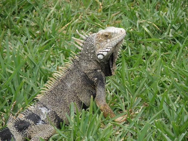 Sguardo stupefacente ad un'iguana che posa in erba verde spessa.