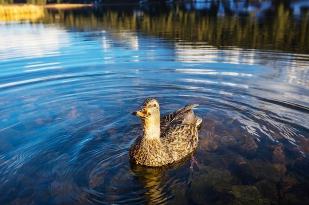 Anatra del germano reale incredibile sul lago di montagna?