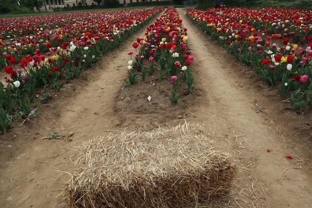 Incredibili campi di tulipani multicolori in italia
