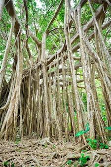 Incredibile vecchio albero gigante e radici nella foresta verde nel parco dai sekirinzan, okinawa, in giappone