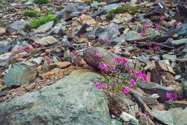 Incredibili fiori rosa di assenzio cresce sulle rocce tra le pietre da vicino.