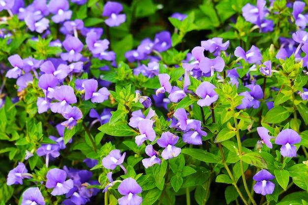 Amazon blue è piante biennali che possono essere rilasciate durante tutto l'anno