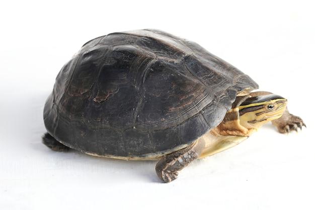 La tartaruga di scatola asiatica di amboina isolata su bianco