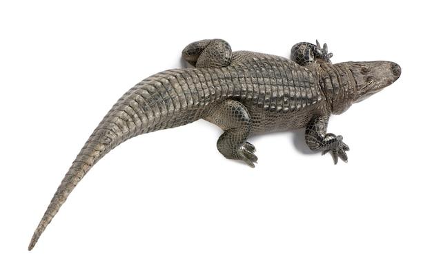 Coccodrillo americano, coccodrillo mississippiensis, isolato su bianco