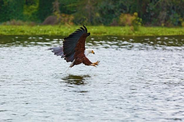 American bald eagle catturare i pesci dall'acqua in una giornata di sole sullo sfondo di alberi verdi.