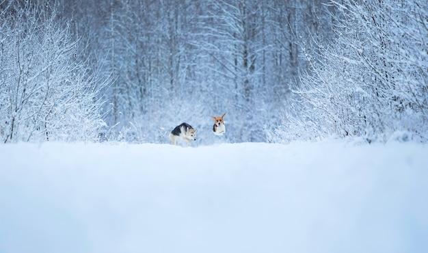 Beagle americano e cani da pastore di razza mista in esecuzione