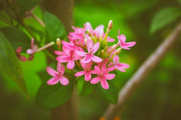 Fiore di bellezza americano, rosa ruspolia.