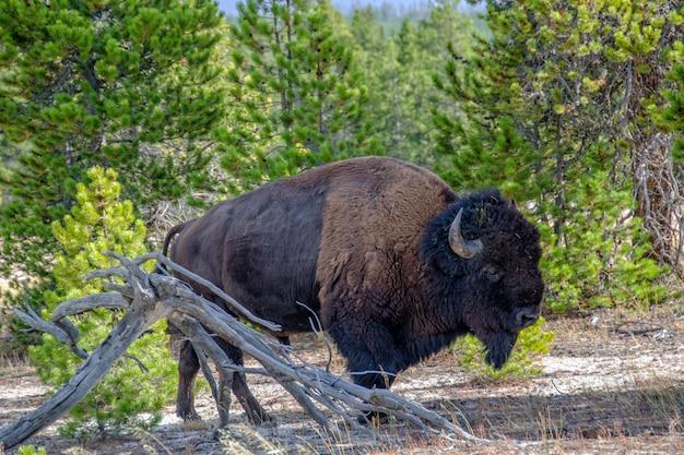 Bisonte americano nella foresta nel parco nazionale di yellowstone, wyoming