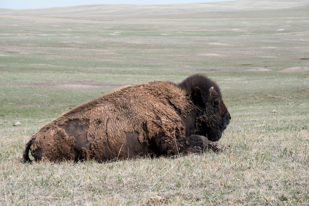 Bisonte americano che sonnecchia nella prateria