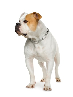 American bulldog (4 anni)