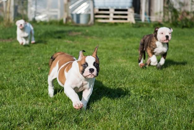 I cuccioli di bulldog americano corrono e giocano