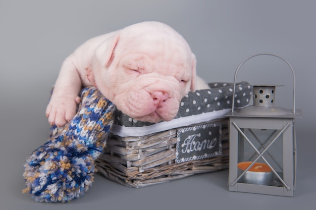 Il cucciolo di cane del bulldog americano sta dormendo su gray Foto Premium