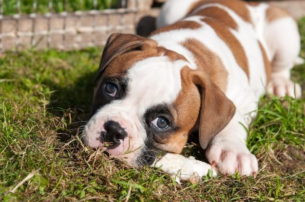 Il cucciolo del bulldog americano sta mangiando una zampa di pollo sulla natura