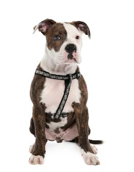 Cucciolo di bulldog americano con 4 mesi. ritratto di cane isolato