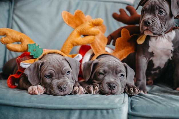 I cuccioli di american bully giacciono sul divano prima di natale. cuccioli prepotenti con cappelli intelligenti.