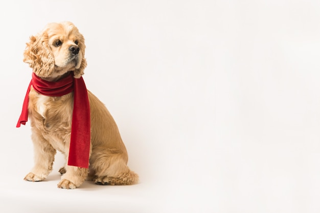 Cocker spaniel americano in una sciarpa rossa