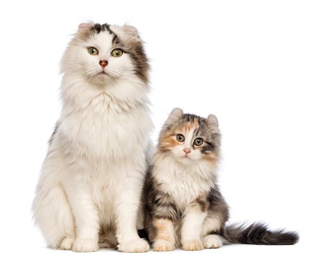 Gattino american curl (3 mesi) seduto con la sua mamma