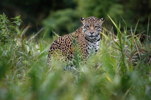 Giaguaro americano nell'habitat naturale della giungla sudamericana
