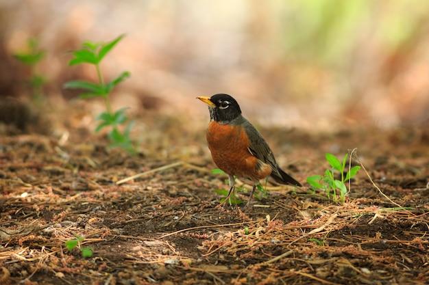 American robin in primavera