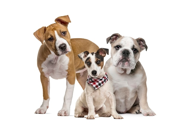 Cucciolo di american staffordshire terrier, cucciolo di bulldog inglese, cucciolo di jack russell terrier con sciarpa a quadri, davanti al bianco