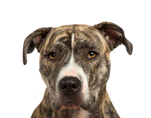 American staffordshire terrier con 18 mesi.