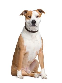 American staffordshire terrier con 2 anni. ritratto di cane isolato