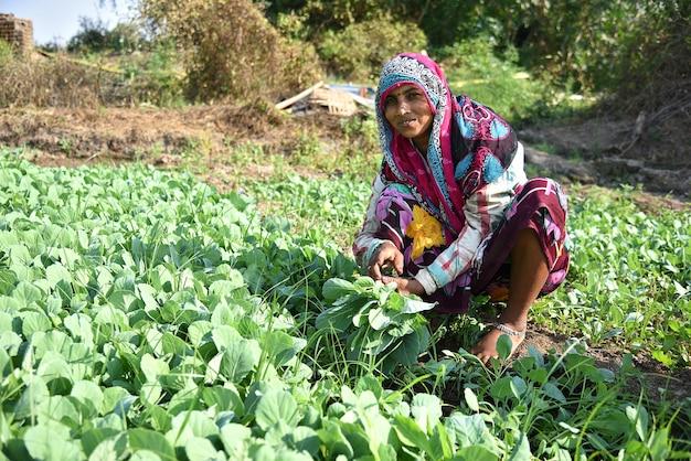 Amravati, maharashtra, india, 3 febbraio 2017: lavoratore agricolo indiano non identificato che pianta cavolo nel campo e che tiene il mazzo di piccola pianta di cavolo nelle mani presso l'azienda agricola biologica.