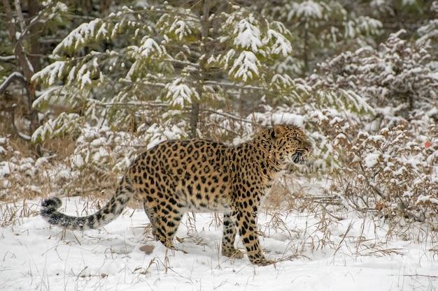 Amur leopard ringhiando davanti agli alberi sempreverdi durante una nevicata