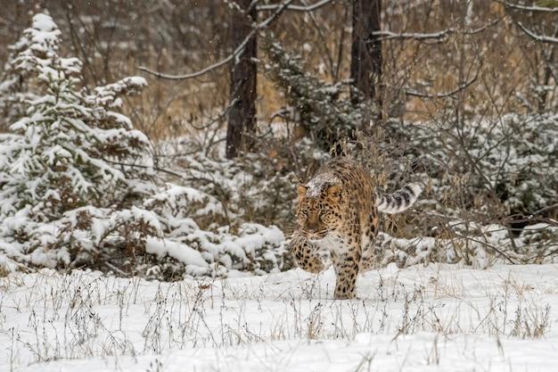 Leopardo dell'amur che cammina attraverso una foresta nevosa, neve incrostata sulla schiena
