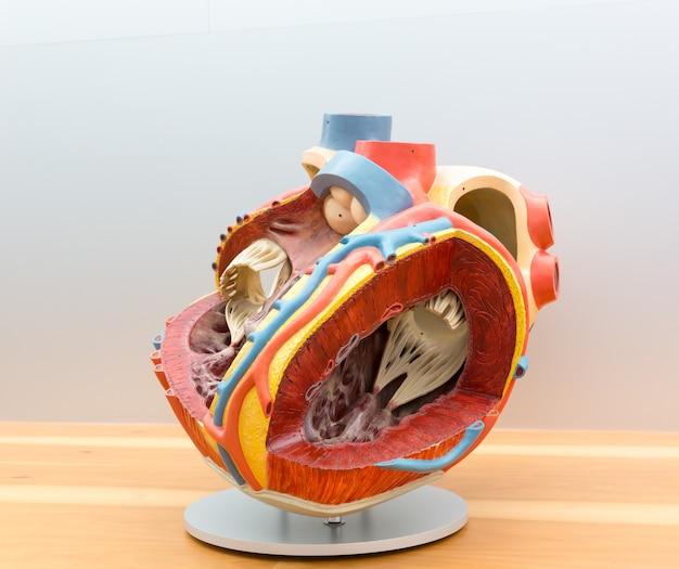 Modello anatomico del cuore umano in taglio. poster medico, concetto di educazione alla medicina Foto Premium