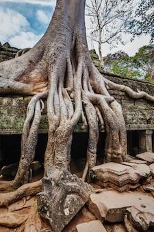 Rovine antiche e radici dell'albero, tempiale dell'at prohm, angkor, cambogia