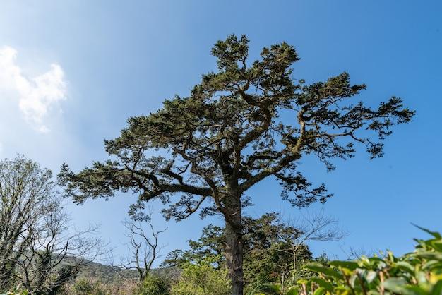 Antichi alberi torreggianti con torsioni e giri di tronco