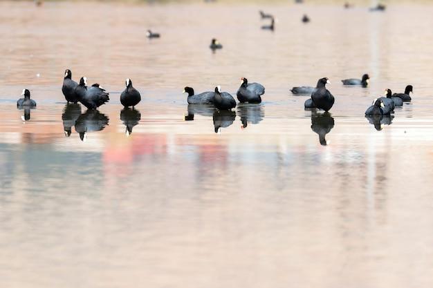 Folaga andina (fulica ardesiaca), folaga andina (fulica ardesiaca) gruppo di folaghe pavoneggiandosi sulle rive di un lago durante il tramonto