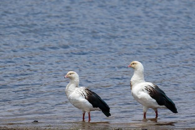 Andean goose (oressochen melanopterus), bella coppia che cammina sulle rive del lago pomacocha. Foto Premium