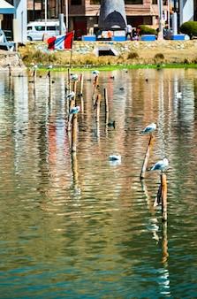 Gabbiani andini al lago titicaca in perù