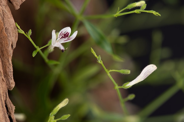 Andrographis paniculata o fiori di ramo kariyat e foglie verdi sullo sfondo della natura.