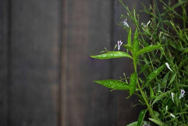 Andrographis paniculata o rami di kariyat fiori e foglie verdi su uno sfondo di legno.