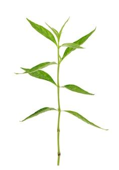 Andrographis paniculata o foglie verdi del ramo di kariyat isolate su fondo bianco con il percorso di ritaglio.