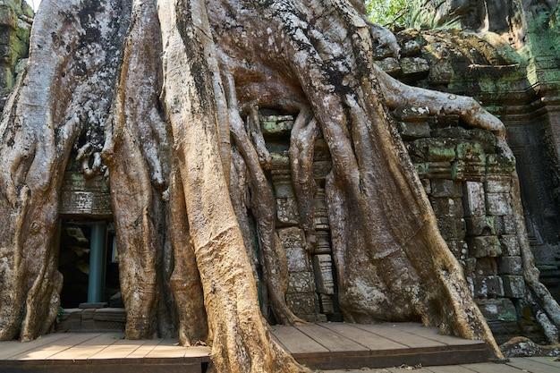 Tempio e alberi di angkor wat