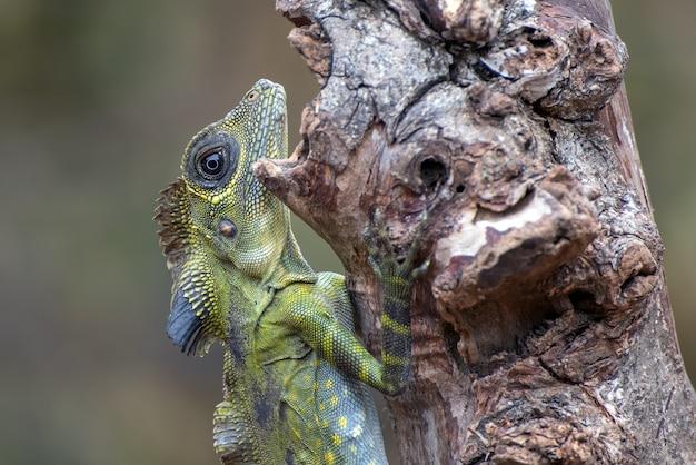 Lucertola capa angolare (gonocephalus bornensis) sul tronco di albero