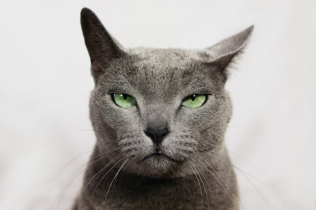 Gatto infastidito arrabbiato. cercasi ladro russo gatto blu, espressione divertente.