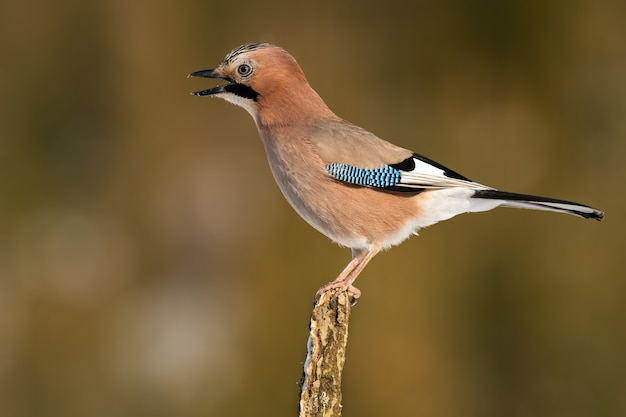 Jay eurasiatico arrabbiato che canta sul ramo in autunno