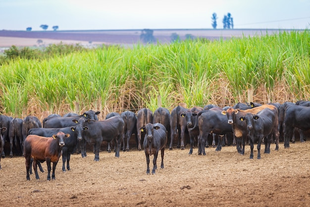 Mandria di bovini angus in un lotto di alimentazione nella campagna brasiliana