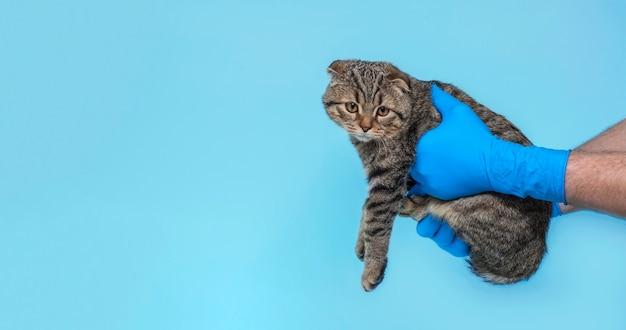 Un gatto animale durante un esame in una clinica veterinaria