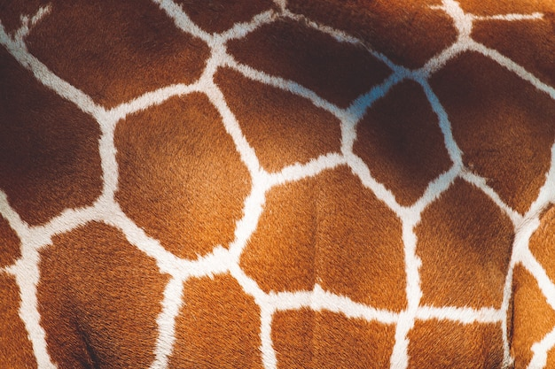 Struttura della pelliccia modellata pelle animale su una giraffa africana selvaggia