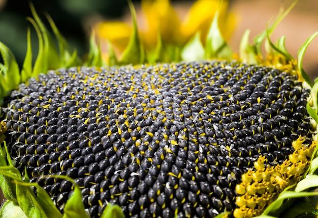 Girasole annuale con semi neri, ottenendo un raccolto di semi per uso nell'industria alimentare