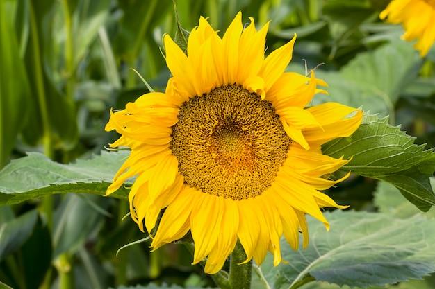 Girasole annuale con petali gialli su un campo agricolo, close-up di fiori soleggiati con un germoglio aperto