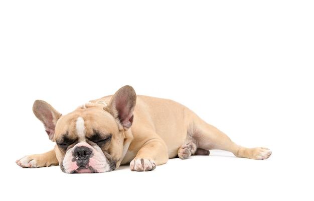 Un bulldog francese anoressico sdraiato sonno isolato su uno sfondo bianco, concetto di cane di salute