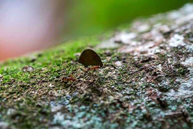 Formica che trasporta foglie sull'albero