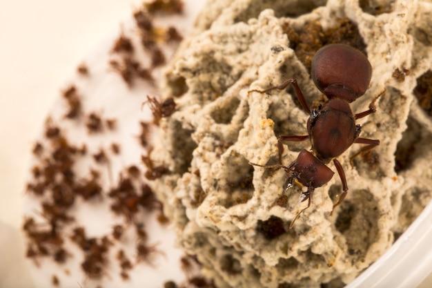 Regina delle formiche nel nido